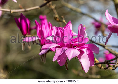 Springtime flowers on a branch of Magnolia 'Ruth' - Stock Image