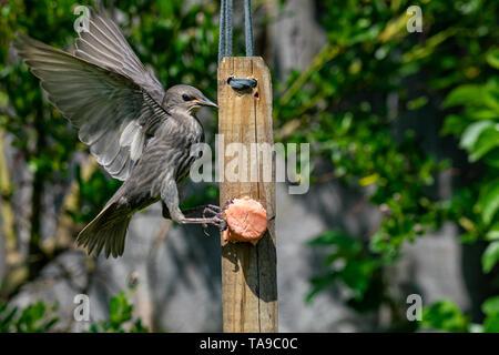 Juvenile starling fledgling (Sturnus vulgaris) trying to land on garden suet bird feeder - Stock Image