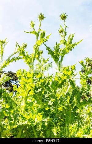 scotch thistle plant, scotch thistle, Onopordum acanthium, Asteraceae, thistle, thistle leaves, plant, plants, botany, thistles, - Stock Image