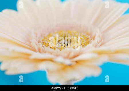 cream gerbera close up, ethereal, nature's beauty Jane Ann Butler Photography  JABP1851 - Stock Image