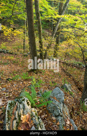 A hardwood forest in West Fairlee, Vermont.  Brushwood Community Forest project. - Stock Image