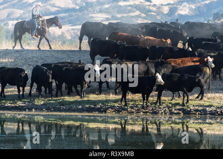 USA, California, Parkfield, V6 Ranch young cowboy with black and brown cows (MR) - Stock Image