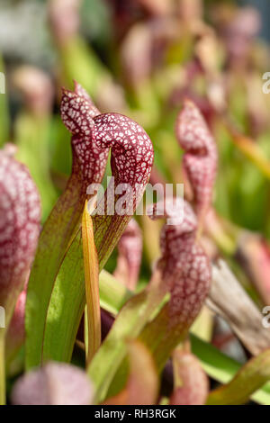 Carnivorous aquatic plants growing in pond - Stock Image