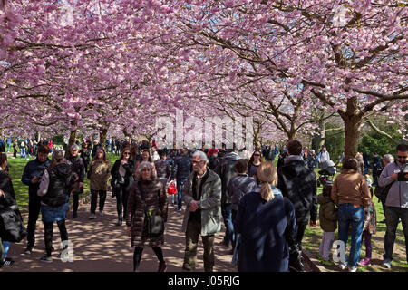 The Cherry Blossom Avenue at Bispebjerg Cemetery, Copenhagen, Denmark,  has seen  a visitor boom and has become - Stock Image