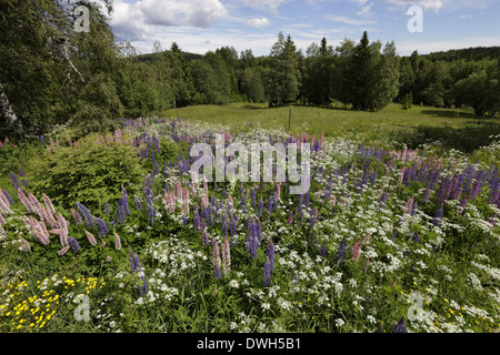 Lupines blooming in a meadow in spring. - Stock Image