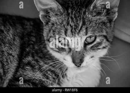 Black and white image of tabby cat kitten looking upwards at the camera - Stock Image
