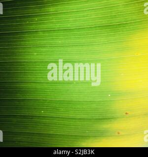Close up detail shot of a tropical palm leaf. - Stock Image