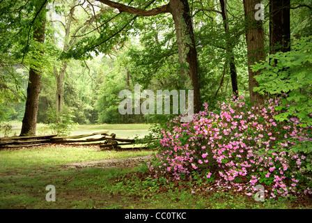 Pink Azaleas in North Carolina landscape, NC - Stock Image