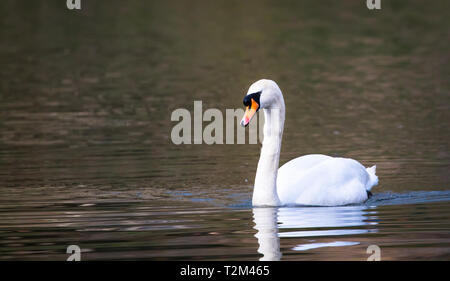 A mute swan (Cygnus olor) swims in the River Severn in Shrewsbury, Shropshire, England. - Stock Image