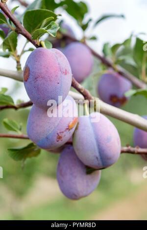 Ripe, large blue plums of Prunus domestica 'HAGANTA' . Fruit growing on a tree - Stock Image