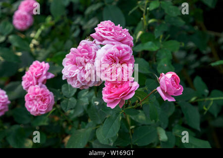 Roses in flower: popular pink summer flowering David Austin shrub rose, Gertrude Jekyll, blooming in a garden in Surrey, south-east England, UK - Stock Image