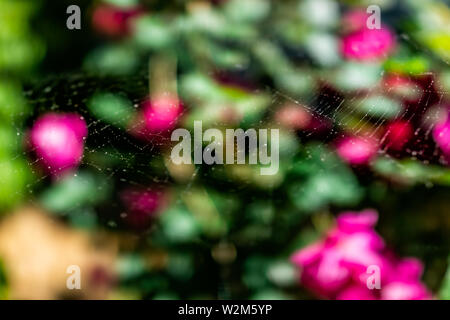 Pink rose flowers bokeh background in backyard garden with colorful vibrant vivid blooms closeup on bush and foreground detail texture of spider web - Stock Image