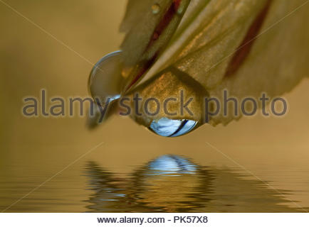 Reflection Of A Leaf On A Pond - Stock Image