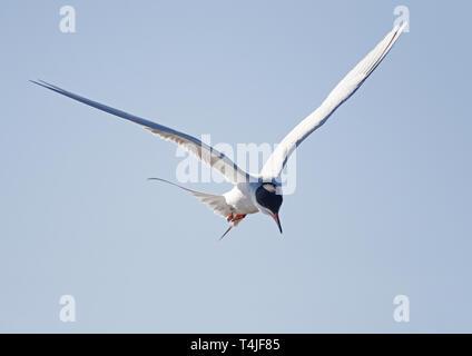 Forster's Tern Hovering in Flight - Stock Image