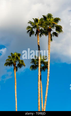 Four tall palm tree in Seville - Stock Image