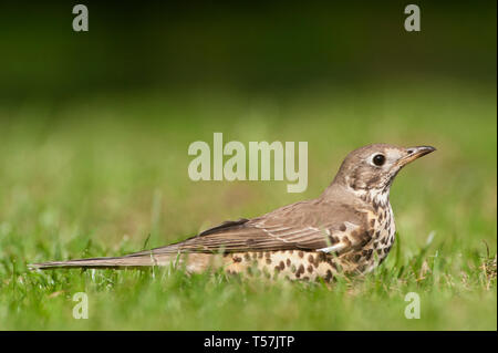 alarmed by a passing Magpie, the Mistle Thrush, Turdus viscivorus, lies down low in grass, Queen's Park, London, United Kingdom - Stock Image
