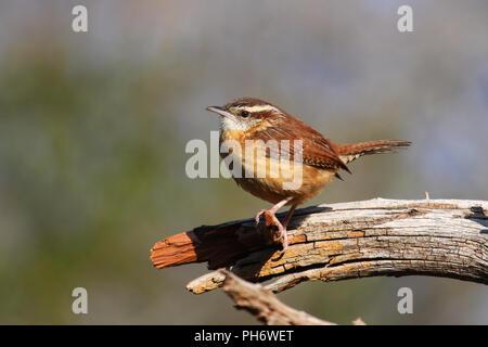 A Carolina wren on a perch. - Stock Image