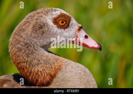 Lateral Head shot portrait of an egyptian goose (Alopochen aegyptiaca) with green blurry background - Stock Image