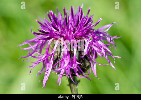 Greater Knapweed (centaurea scabiosa), close up of a solitary flower head. - Stock Image