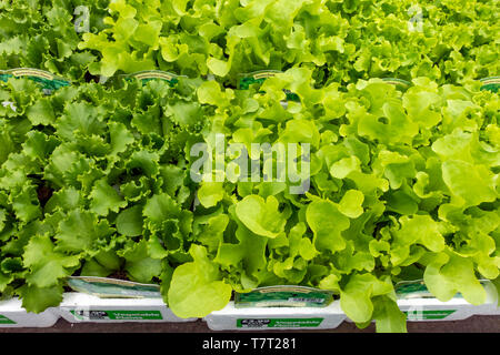 Display of Kitchen Garden lettuce bedding plants for spring planting in a Garden Centre - Stock Image