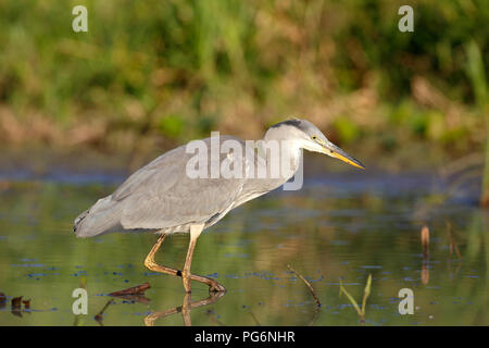 Grey heron (Ardea cinerea) runs in the water, hunting, Middle Elbe Biosphere Reserve, Saxony-Anhalt, Germany - Stock Image