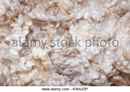 Background of white sheep wool - Stock Image