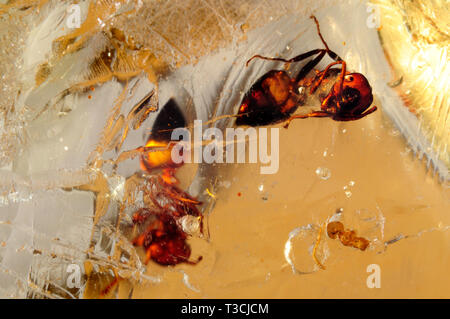 Spiny Ants in Madasgascan Copal (-young amber) - Stock Image