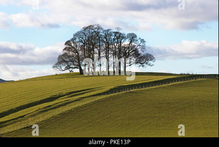 Stand of trees on Teenley Hill (Church Lane) in countryside near Wigglesworth village, Ribble Valley, Craven district, North Yorkshire, England, UK. - Stock Image