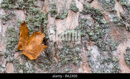 Close-up of maple bark texture with a fallen leaf. Acer. Beautiful natural background. Old faded deciduous tree trunk. Dry green moss. Abstract detail. - Stock Image