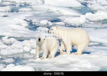 Polar Bear Mother with Roaring Yearling Cub, Ursus maritimus, Olgastretet Pack Ice, Spitsbergen, Svalbard Archipelago, Norway - Stock Image