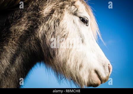 Close up portrait of white horse - Stock Image