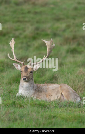 Fallow deer, Dama dama, laying in grass, buck, stag, full antlers, October, UK. - Stock Image