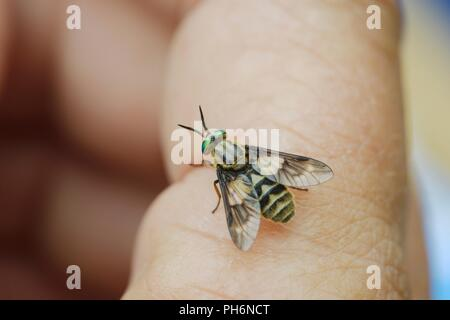 Chrysops relictus, Twin Lobed Deerfly, biting insect on human hand, Wales, UK. - Stock Image