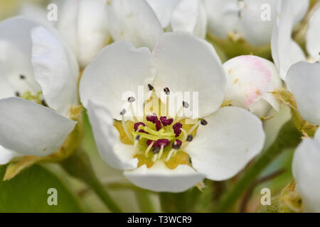 Close up of blossoms on pear tree (Pyrus communis), common pear - Stock Image