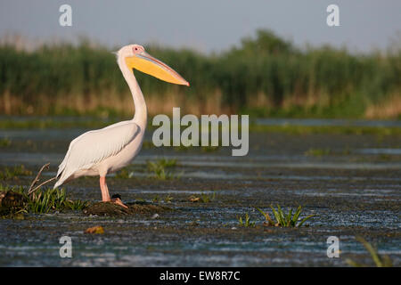 Great-white pelican, Pelecanus onocrotalus, single bird by water, Romania, May 2015 - Stock Image