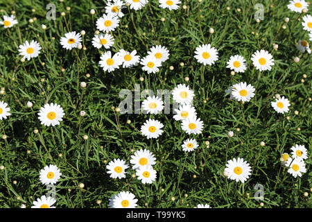 Daisy flowers photographed in a meadow located in Funchal, Madeira. The photo includes a lot of lovely bright flowers and some leaves and stems. - Stock Image