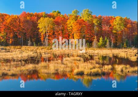 Deciduous forest in autumn colors on shore of Paudash Lake, Paudash Lake, Ontario, Canada - Stock Image