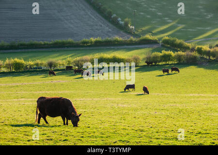 Spring evening on the South Downs in West Sussex, England. - Stock Image