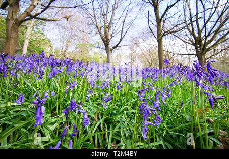 Large patches of bluebells (Hyacinthoides non-scripta) emerge during spring in a forested area of Shrewsbury, Shropshire, England. - Stock Image