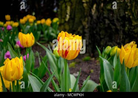 Tulips - Stock Image