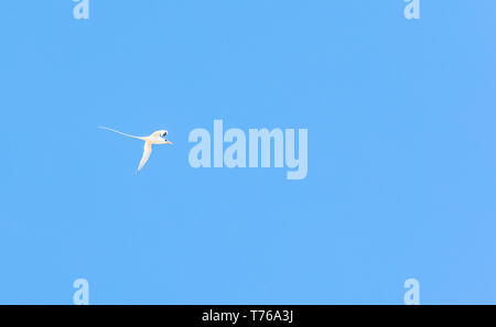 a White-tailed Tropicbird flying at Grand Fond, St Barts - Stock Image