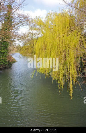 A Weeping Willow, Salix chrysocoma, in early spring on the banks of the River Bure at Coltishall, Norfolk, England, United Kingdom, Europe. - Stock Image
