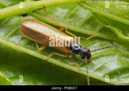 Dorsal view of Soldier Beetle (Rhagonycha lignosa) on underside of leaf. Tipperary, Ireland - Stock Image