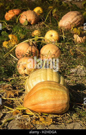 Pumpkin Patch in  Autumn light, Portugal - Stock Image