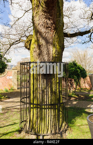 Coronation oak tree planted to commemorate the crowning of King George the 6th in 1937 in the village centre of Chirk North Wales - Stock Image