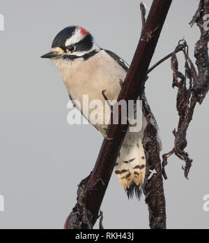 A beautiful downy woodpecker (Picoides pubescens) perches on a branch on a foggy morning in Tennessee. - Stock Image