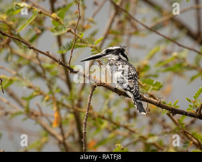 The pied kingfisher (Ceryle rudis), on a tree in the swamps of Mabamba, Lake Victoria, Uganda - Stock Image