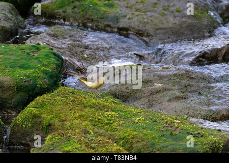 Grey Wagtail, Motacilla cinerea on a moss covered stone by water, England, UK. - Stock Image