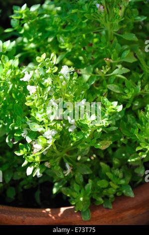 Spicy Globe Basil Ocium Basilicum Minimum - Stock Image