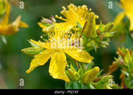 Perforate St. Johns Wort (hypericum perforatum), close up of a single flower with bud. - Stock Image